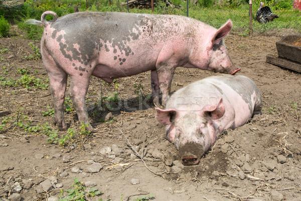 big pig on the farm Stock photo © Peredniankina