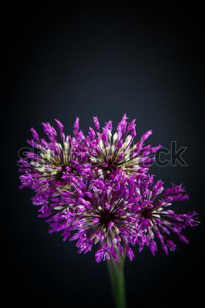 Hermosa flor negro flores primavera jardín Foto stock © Peredniankina