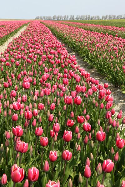 Lâle alan renkli çiçekler kuzey Stok fotoğraf © peter_zijlstra
