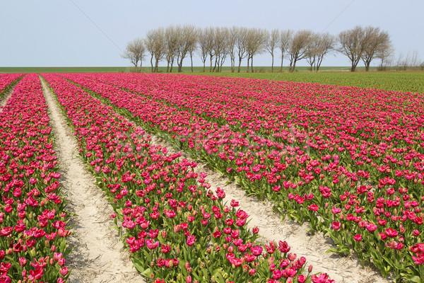 Tulip области красочный цветы Сток-фото © peter_zijlstra