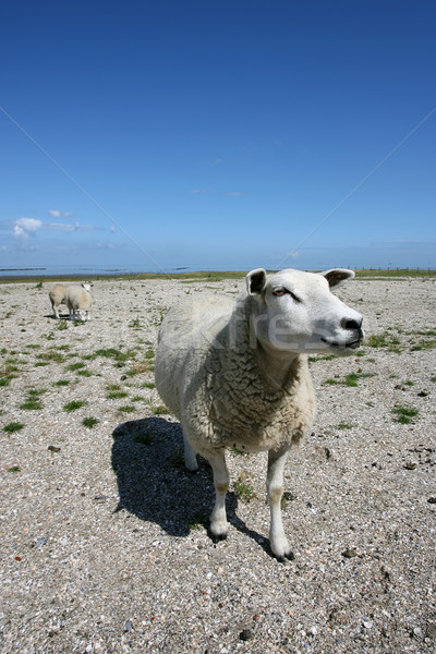 sheep walking and grazing at the borders of the wadden sea Stock photo © peter_zijlstra