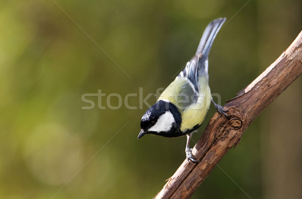 great tit (Parus major)  Stock photo © peter_zijlstra