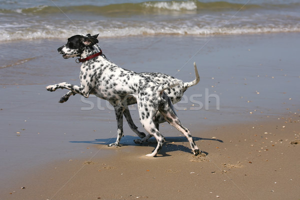 two dalmatians playing Stock photo © peter_zijlstra