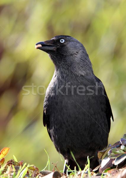 jackdaw (corvus monedula)  Stock photo © peter_zijlstra