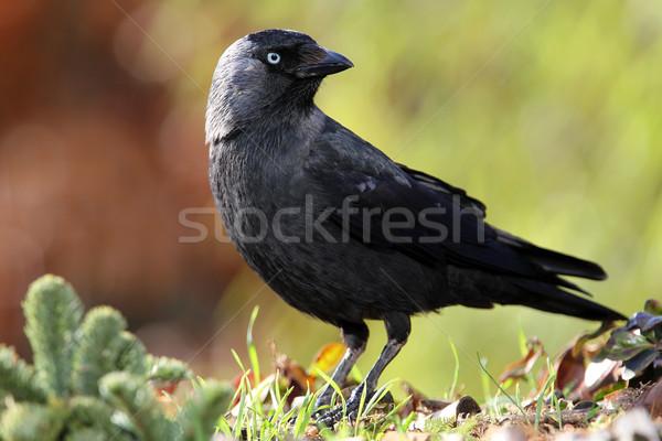 Сток-фото: саду · зеленый · черный · животного · ворон · элегантный