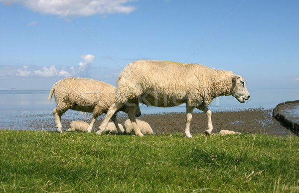 Stock photo: sheep walking and grazing at the borders of the wadden sea