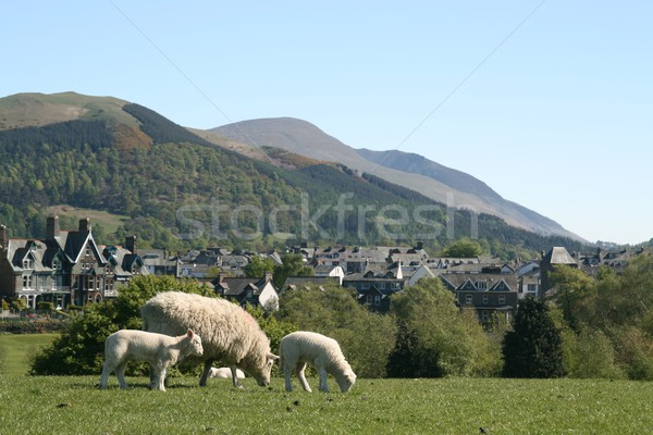 Moutons collines domaine Photo stock © peterguess