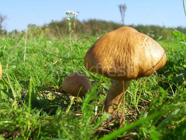Champignons photos sauvage alimentaire vert Photo stock © peterguess