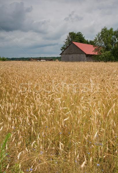 Maïs domaine grange rouge orageux ciel Photo stock © peterguess
