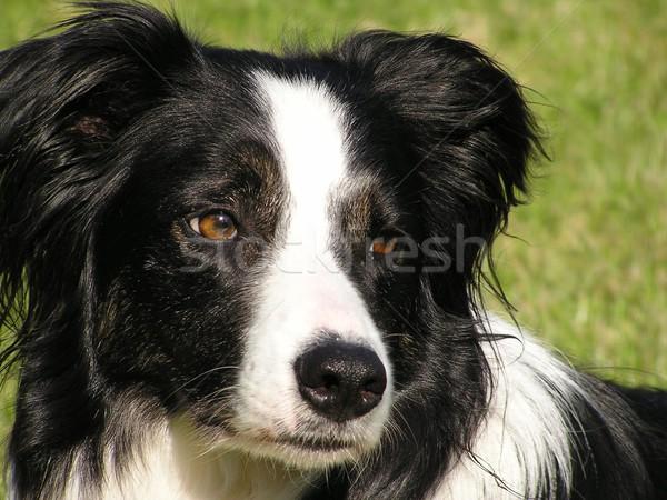 Chien portrait noir blanche ami animal Photo stock © peterguess