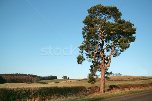 Solitary tree Stock photo © peterguess