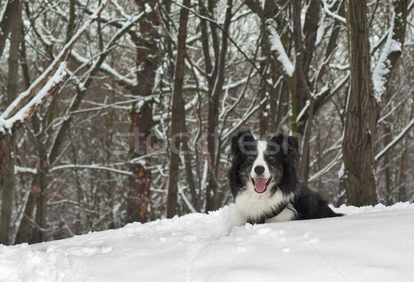 ボーダーコリー 犬 雪 森林 ストックフォト © peterguess