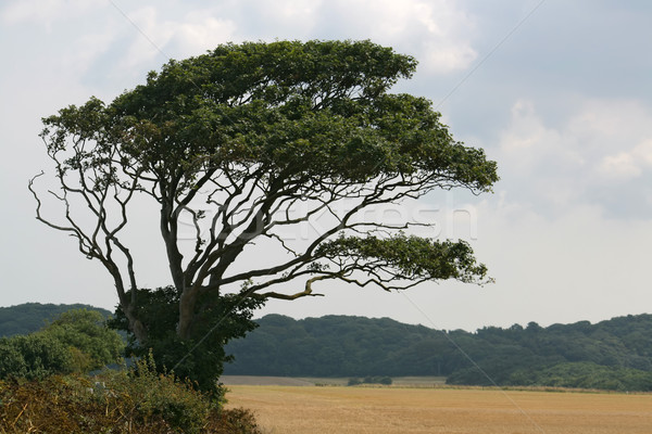 Isolated Tree Stock photo © peterguess