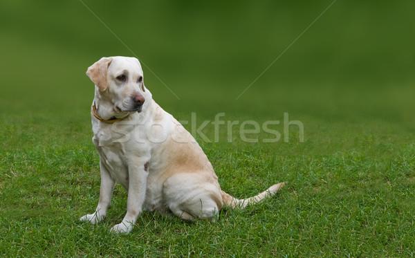 ラブラドル 犬 座って 草 ストックフォト © peterguess