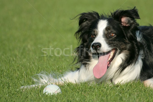 ボーダーコリー 犬 草 ボール 黒 白 ストックフォト © peterguess