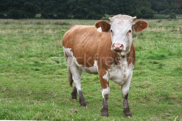 Bullock Stock photo © peterguess