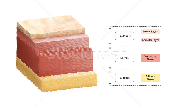 Layers Of Human Skin Stock photo © PeterHermesFurian