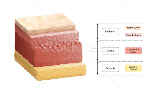 Stock photo: Layers Of Human Skin