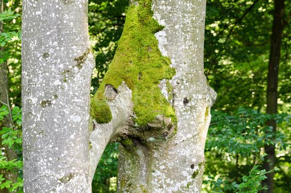 Twee bomen groeien samen soorten natuurlijke Stockfoto © PeterHermesFurian