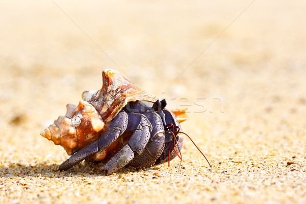 Hermit Crab Stock photo © PetrMalyshev