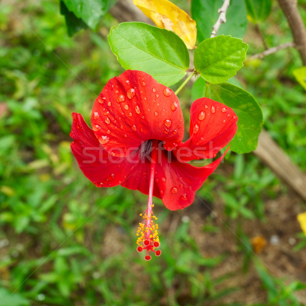 Red Hibiscus Stock photo © PetrMalyshev