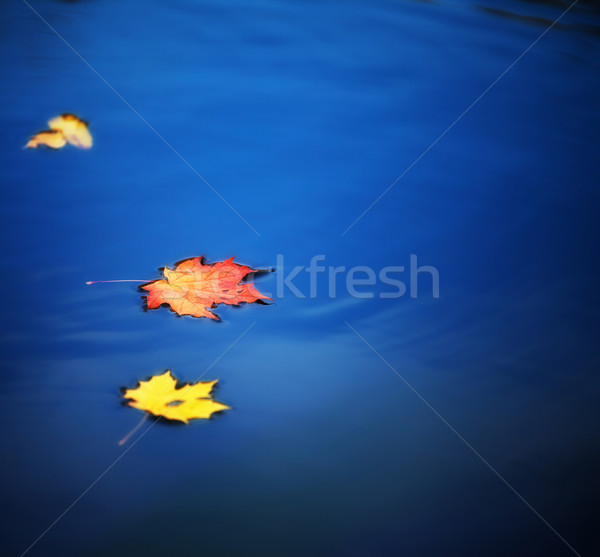 maple leaves on water Stock photo © PetrMalyshev