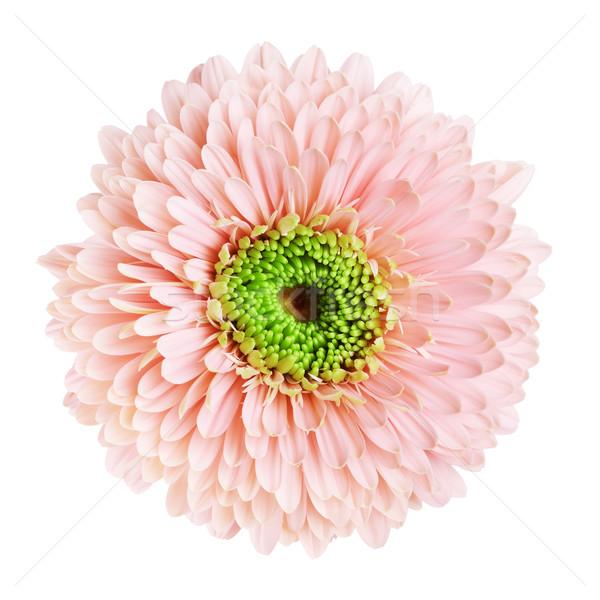 Stock photo: Pink Gerbera Daisy