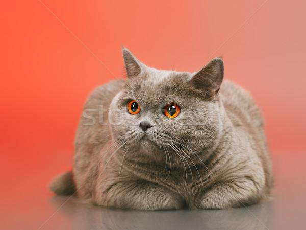британский короткошерстная кошки синий красный лице Сток-фото © PetrMalyshev