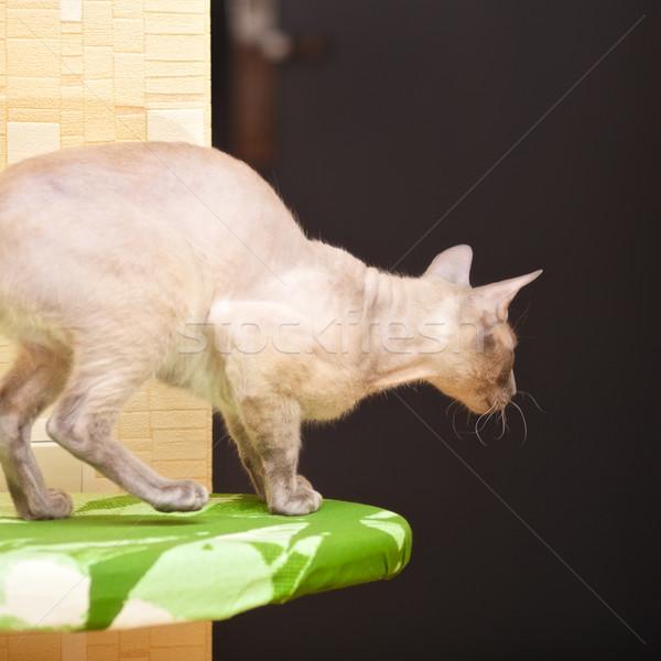 Sin pelo gato listo casa habitación Foto stock © PetrMalyshev
