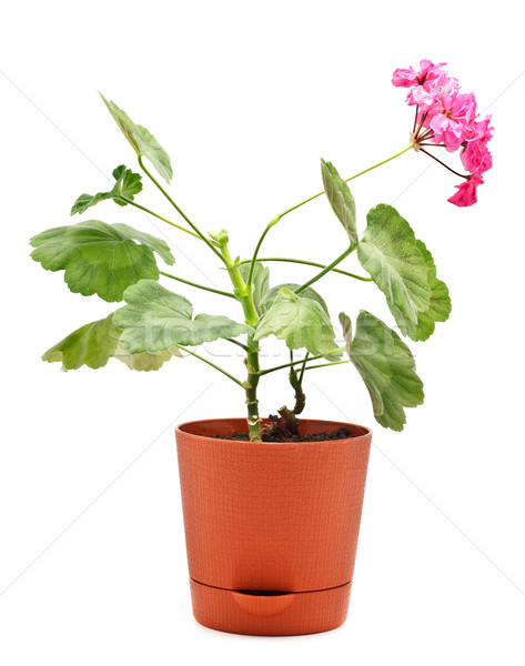 Geranium in Pot Stock photo © PetrMalyshev