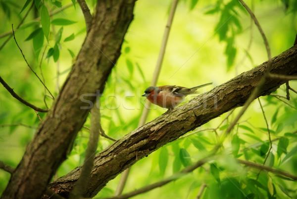 Finch on Tree Stock photo © PetrMalyshev
