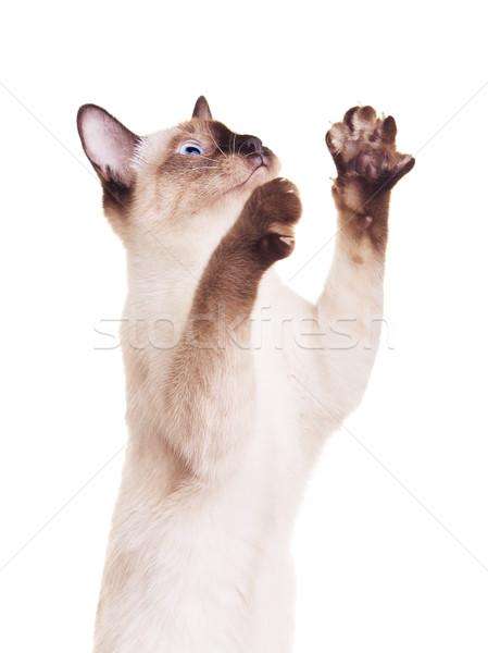 тайский кошки лапа серый изолированный Сток-фото © PetrMalyshev