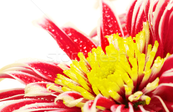 Red Chrysanthemum Closeup Stock photo © PetrMalyshev