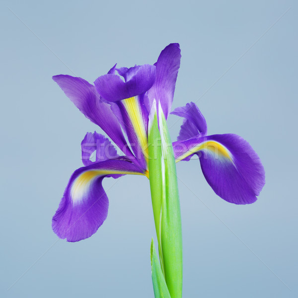 Iris Flower Stock photo © PetrMalyshev