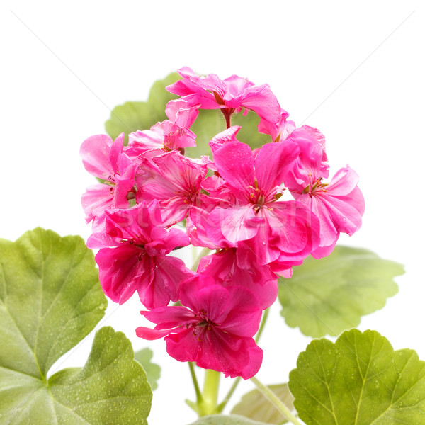 Geranium Flower Stock photo © PetrMalyshev