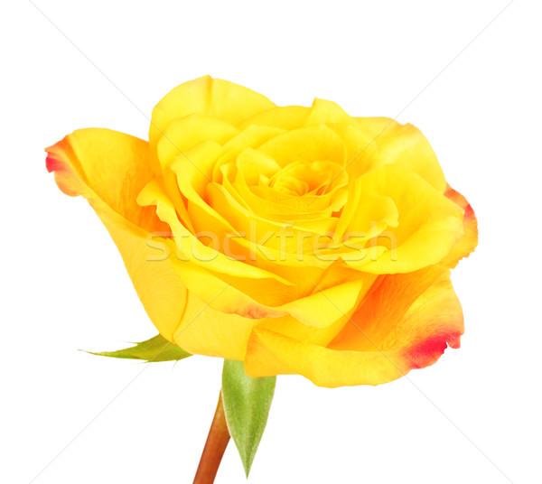 Yellow Rose Flower Stock photo © PetrMalyshev