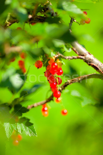 Redcurrant Bunch Stock photo © PetrMalyshev