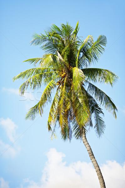 Kókuszpálma kék ég Thaiföld fa erdő tájkép Stock fotó © PetrMalyshev
