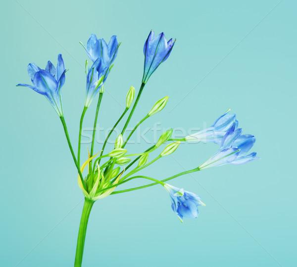 синий цветок свежие цветок фон лет завода Сток-фото © PetrMalyshev