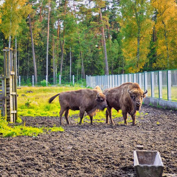 Europeu bisão animais selvagens floresta Bielorrússia verde Foto stock © PetrMalyshev