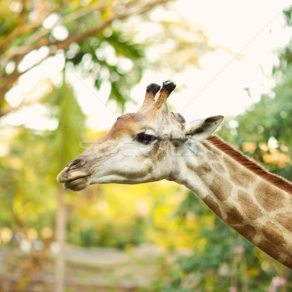 Giraffe Head Stock photo © PetrMalyshev