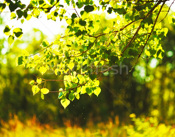 береза листьев вечер солнечный свет лет небе Сток-фото © PetrMalyshev