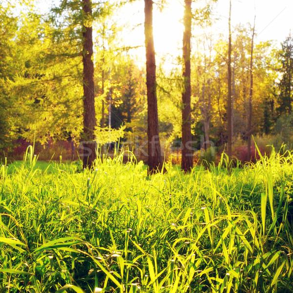 Tisztás zöld erdő magas fű este Stock fotó © PetrMalyshev