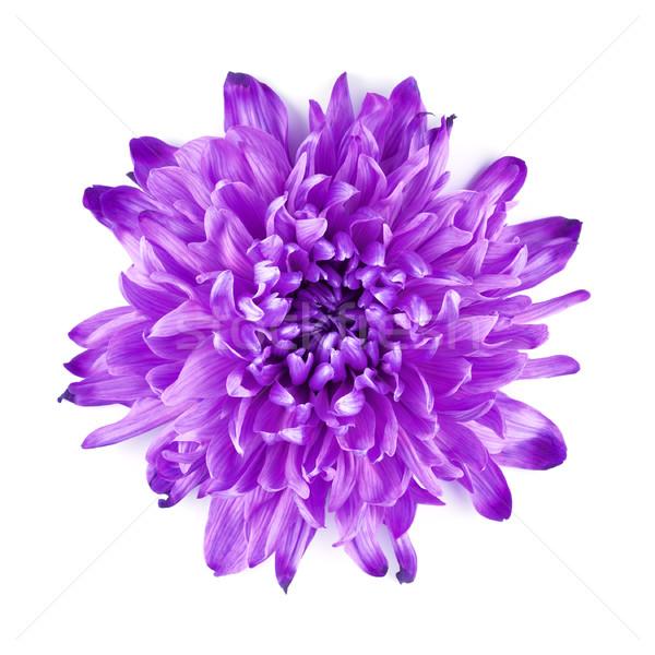 Violet Chrysanthemum Flower Stock photo © PetrMalyshev