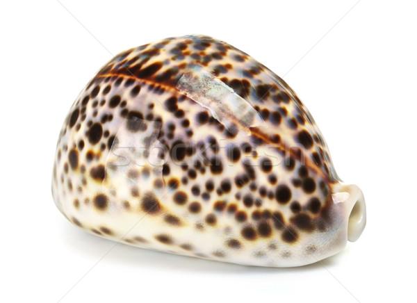 Sea Shell Stock photo © PetrMalyshev