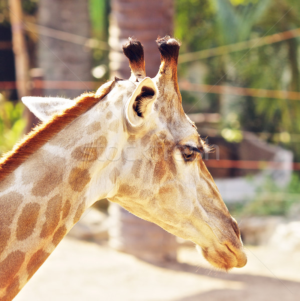 Giraffe hoofd wild hemel oog gelukkig Stockfoto © PetrMalyshev