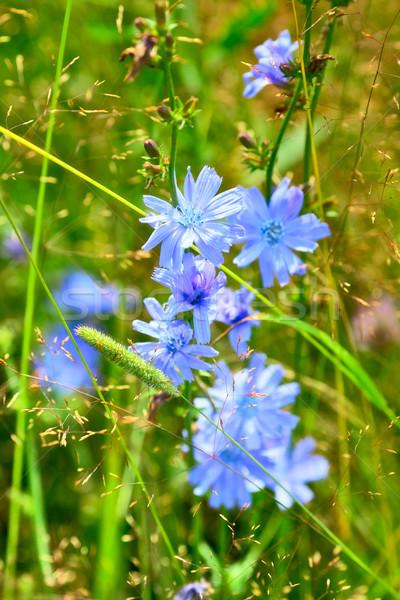 Kék virágok fű napos nyár nap Stock fotó © PetrMalyshev
