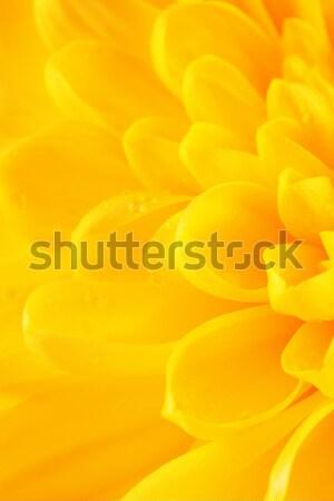 Sarı krizantem çiçek yaprakları sonbahar sarı çiçek Stok fotoğraf © PetrMalyshev