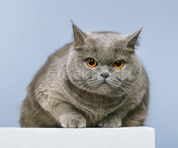 Brits korthaar kat Blauw gezicht achtergrond Stockfoto © PetrMalyshev