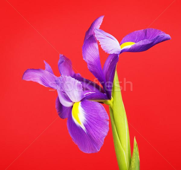 アイリス 花 美しい 紫色の花 赤 美 ストックフォト © PetrMalyshev